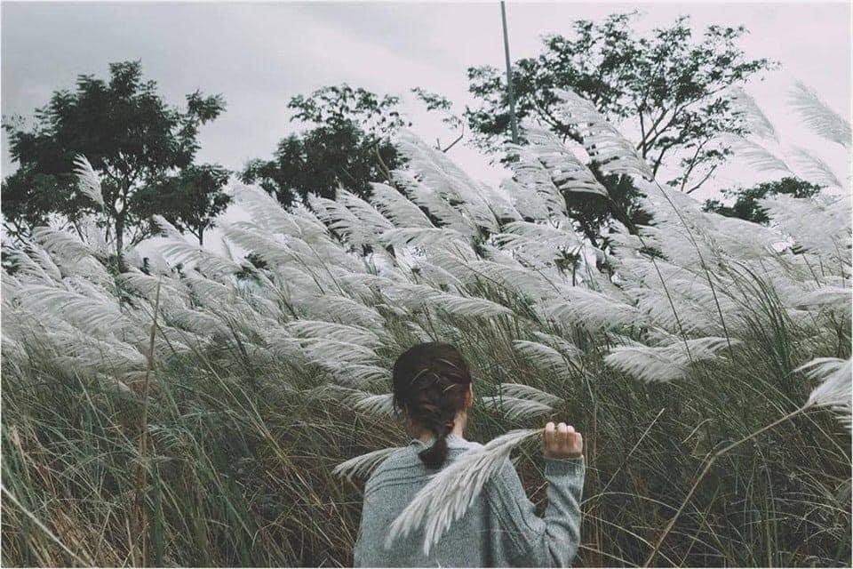 cánh đồng cỏ lau ở chân cầu Long Biên