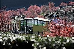 Đồi chè đẹp nhất Sapa mùa hoa anh đào đóng cửa do nhiều du khách ý thức kém