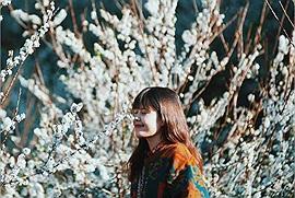 Say như điếu đổ mùa hoa mận Mộc Châu nở trắng trời cao nguyên tháng 12 này