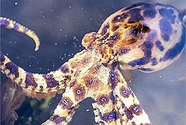 Suýt ăn phải bạch tuộc độc nhất thế giới, may nhờ tỉnh táo mà cô nàng không phải đi gặp ông bà