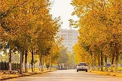 """Giới trẻ Hà Thành """"xôn xao"""" check in đường lá phong đỏ đẹp như xứ Hàn nằm ngay khu Ngoại giao đoàn"""