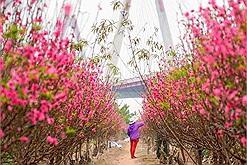 Chơi Tết: Ghé vườn đào Nhật Tân đang nở hồng cả một khoảng trời Hà Nội để đón xuân sang