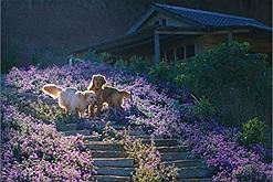Dạt ra cho dân chơi xóm bước vào check in vườn lavender Đà Lạt xinh xỉu nào