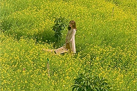 Xuân này hoa cải nở rộ thung lũng Tà Nung, đứng vào là có ảnh đẹp mê mẩn