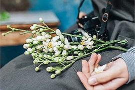 Những ngày cuối tháng 2, người ta thổn thức trước mùa hoa bưởi nồng nàn trên các con phố Hà Nội