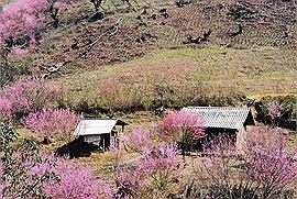 """Không chỉ là """"vùng đất gây thương nhớ"""", mùa xuân Y Tý còn xứng đáng là """"mùa xuân trên tầng mây"""" đẹp nhất"""