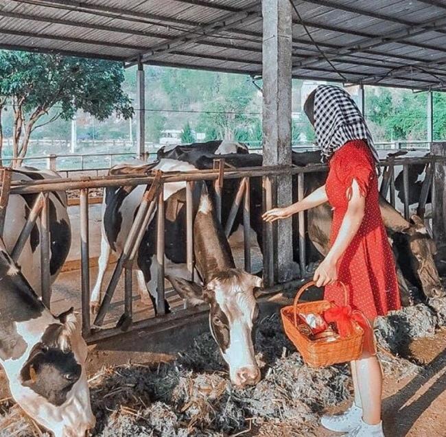 nông trại bò sữa