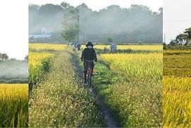 Cánh đồng lúa chín giữa vùng dịch Bắc Ninh khiến nơi nào cũng là chốn bình yên giữa giông bão