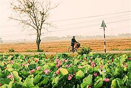 Giữa nắng nóng, dịch bệnh, có một mùa sen ngát hương tháng 6 nở rộ khắp miền nước Việt làm lòng ta như dịu lại...