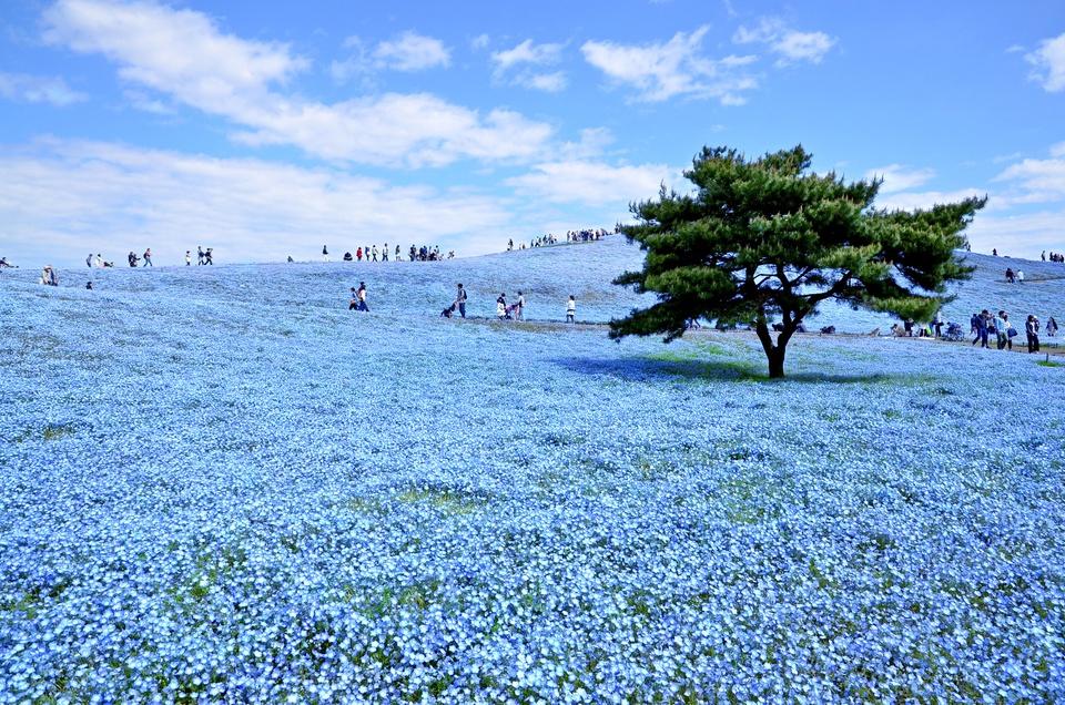 mùa hoa ở công viên Hitachi Nhật Bản