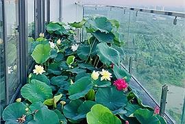 """Sở hữu căn penthouse rộng 300m2, cặp vợ chồng trẻ """"đầu tư"""" hẳn hồ trồng hoa sen ngoài ban công"""