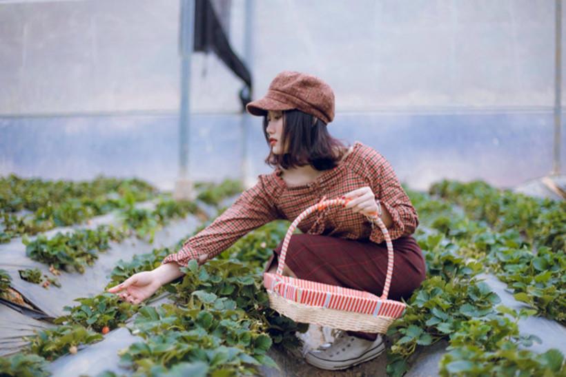Chimi Farm nổi tiếng nhất là vườn trồng dâu tây