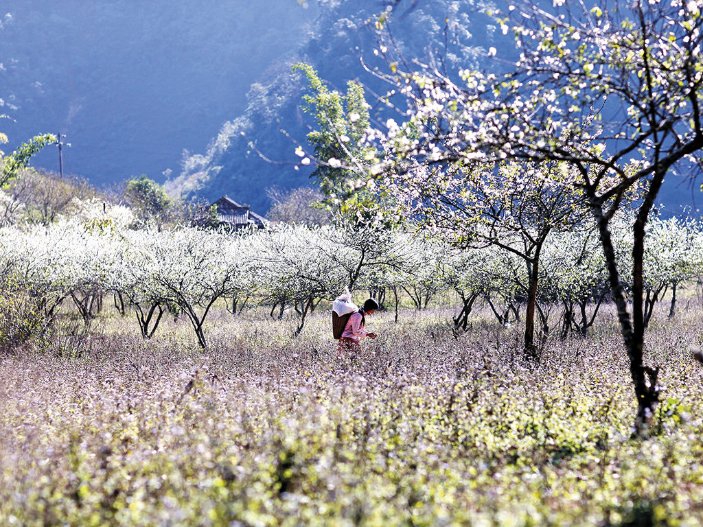 Mộc Châu mùa hoa ban nở - đẹp ngỡ ngàng trong ánh mắt