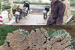 Cụ ông 70 tuổi cắt cả vườn sả ủng hộ Sài Gòn, bó nào cũng sạch sẽ gọn gàng nhìn mà thương