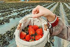 """Team """"nghiện dâu"""" chú ý, lập team giải mã ngay địa điểm sống ảo cực hot tại Hà Nội - vườn dâu Chimi Farm"""