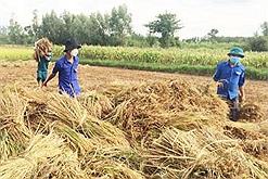 Bà con bị phong tỏa ở vùng giãn cách xã hội, thanh niên tình nguyện xuống đồng gặt lúa