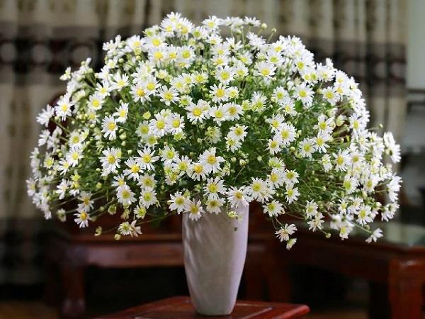 mẹo giữ hoa cúc họa mi Hà Nội luôn tươi lâu