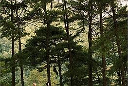 """Cao Bằng có một đồi thông đẹp như """"Đà Lạt thu nhỏ"""", khung cảnh nguyên sơ hiếm có"""