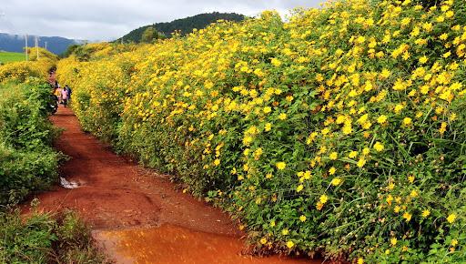 cung đường ngắm hoa dã quỳ đẹp tại Đà Lạt