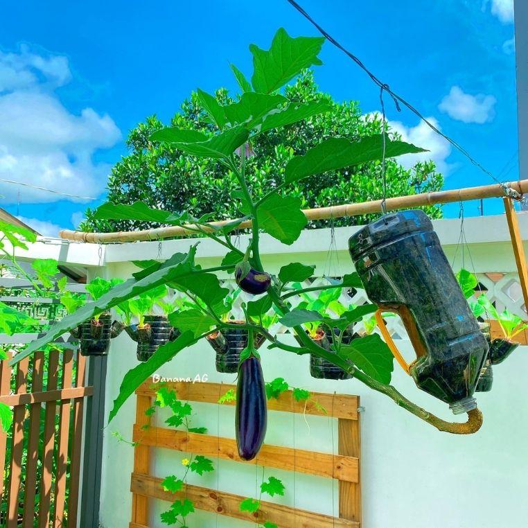 Nghỉ dịch ở nhà, chàng trai thành thị trồng cả vườn rau củ quả xanh mơn mởn, ai nhìn cũng phát thèm