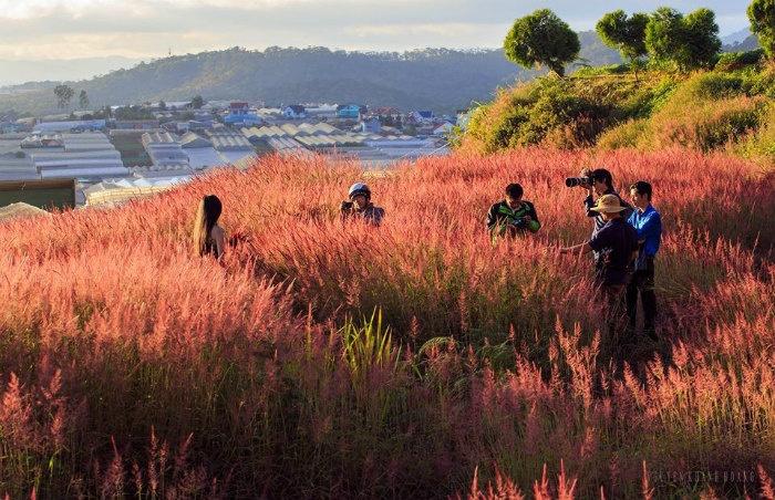 đồi cỏ hồng đẹp như xứ Nhật