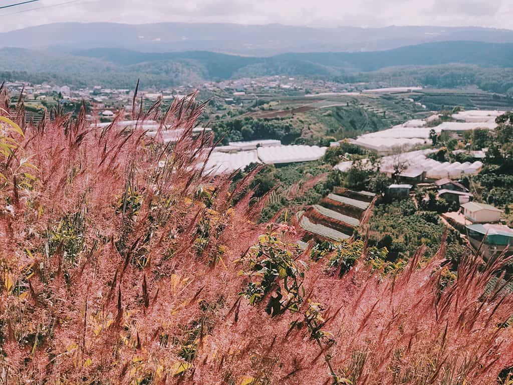 Từ xa nhìn lại, cánh đồng ngút ngàn màu hồng phấn nở rộ sẽ khiến du khách mãn nhãn